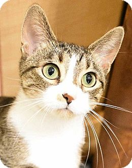 Domestic Shorthair Cat for adoption in Naperville, Illinois - Catie-GREEN-EYED CUTIE