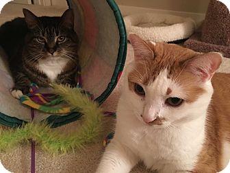 Domestic Shorthair Cat for adoption in Richmond, Virginia - Daisy & Joy
