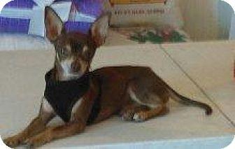 Chihuahua Dog for adoption in Tonopah, Arizona - BW