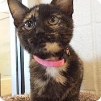 Domestic Shorthair Kitten for adoption in Joplin, Missouri - Jewel 110626