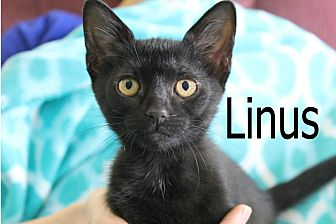 Domestic Shorthair Kitten for adoption in Wichita Falls, Texas - Linus 2