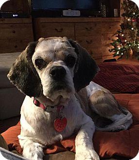 Cocker Spaniel Dog for adoption in Austin, Texas - Ellie