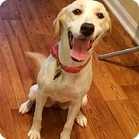 Labrador Retriever Mix Dog for adoption in Alpharetta, Georgia - Elloize