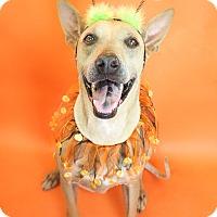 Adopt A Pet :: Brody - Phoenix, AZ