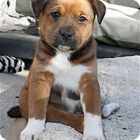 Adopt A Pet :: Cal Bear - Pleasanton, CA