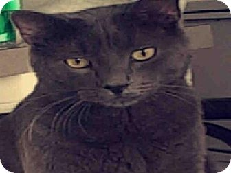 Domestic Mediumhair Cat for adoption in San Antonio, Texas - A393430