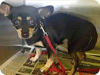 Chihuahua Mix Dog for adoption in Encino, California - Fifi