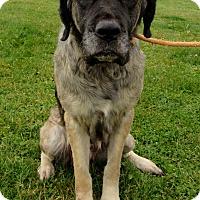 Mastiff Mix Dog for adoption in Grinnell, Iowa - Stella