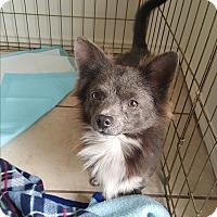 Adopt A Pet :: Beau - Brownsville, TX