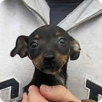Chihuahua Mix Puppy for adoption in Germantown, Maryland - Dodge
