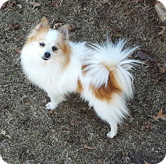 Overland Park Ks Pomeranian Meet Ginger A Dog For