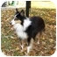 Photo 3 - Sheltie, Shetland Sheepdog/Sheltie, Shetland Sheepdog Mix Dog for adoption in Sheboygan, Wisconsin - Patches