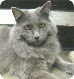 Russian Blue Cat for adoption in Mesa, Arizona - Raja