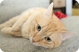 Domestic Shorthair Cat for adoption in Winston-Salem, North Carolina - Cricket