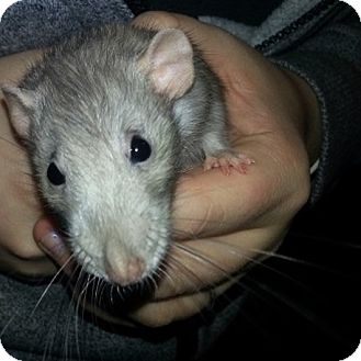Rat for adoption in Lakewood, Washington - Blue