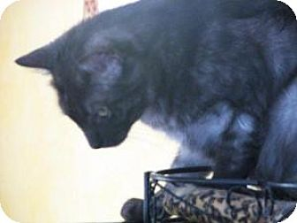 American Shorthair Cat for adoption in Cleveland, Tennessee - SOOT