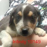 Adopt A Pet :: Infinity - baltimore, MD