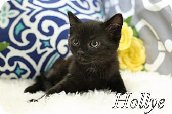 Domestic Shorthair Cat for adoption in knoxville, Tennessee - Hollye Female