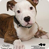 Adopt A Pet :: Charlie (Foster) - Baton Rouge, LA