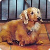 Adopt A Pet :: Nugget - Dallas, TX