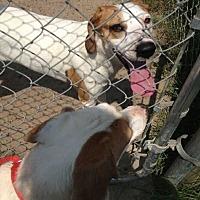 Adopt A Pet :: Sugar - Summerville, SC