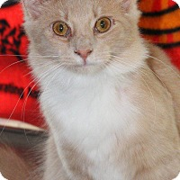 American Shorthair Cat for adoption in Vass, North Carolina - Scrappy