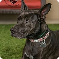 Adopt A Pet :: Sheila - Inglewood, CA