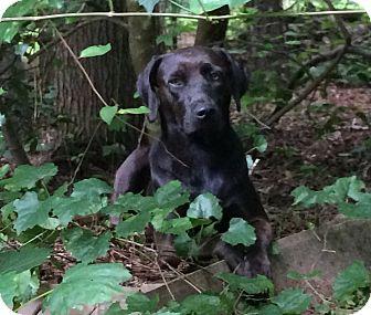 Labrador Retriever Mix Dog for adoption in Youngsville, North Carolina - Belle