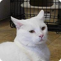 Domestic Shorthair Cat for adoption in Winston-Salem, North Carolina - Sugar