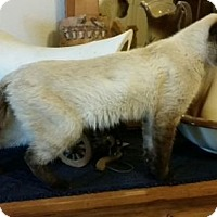 Siamese Cat for adoption in Bulverde, Texas - Mitcham