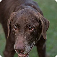 Labrador Retriever Mix Dog for adoption in Daleville, Alabama - Adam