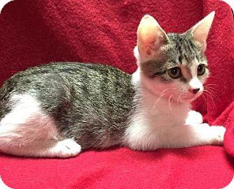 Polydactyl/Hemingway Kitten for adoption in Fresno, California - Frankie