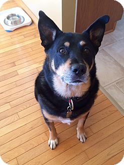 Cattle Dog/Shepherd (Unknown Type) Mix Dog for adoption in Hanover, Ontario - Fred