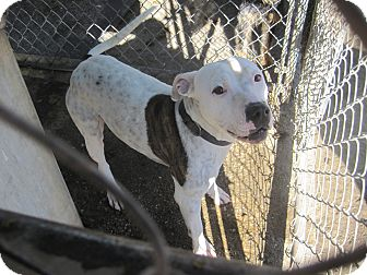 Pit Bull Terrier Mix Dog for adoption in Lancaster, California - Babydoll