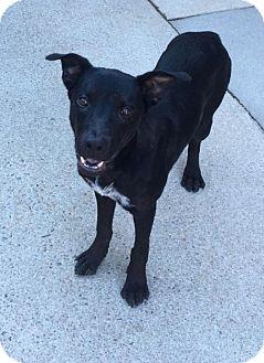 Labrador Retriever/Labrador Retriever Mix Dog for adoption in Raleigh, North Carolina - Bingo