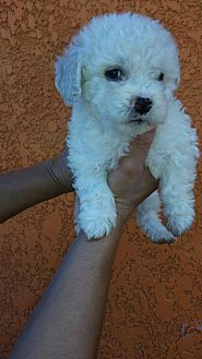 Maltese/Poodle (Toy or Tea Cup) Mix Puppy for adoption in Phoenix, Arizona - Zack