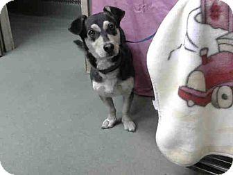 Shepherd (Unknown Type)/Welsh Corgi Mix Dog for adoption in San Bernardino, California - URGENT 10/21 @ DEVORE