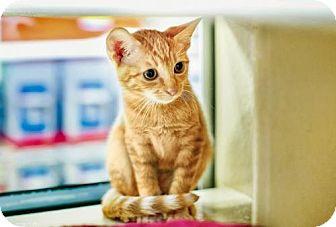 Domestic Mediumhair Cat for adoption in Seal Beach, California - Freddy