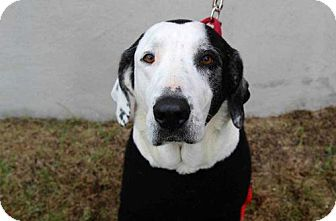 Great Pyrenees/Hound (Unknown Type) Mix Dog for adoption in Boston, Massachusetts - Ms. Herbert