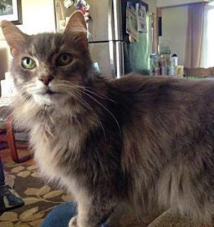 Domestic Mediumhair Cat for adoption in Richmond Hill, Ontario - Gellie-*URGENT*