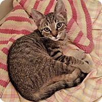 Domestic Shorthair Kitten for adoption in Garland, Texas - Linus