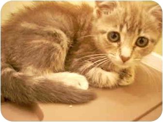 American Shorthair Kitten for adoption in Bartlett, Tennessee - Paisley