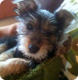 Yorkie, Yorkshire Terrier/Schnauzer (Miniature) Mix Puppy for adoption in Baton Rouge, Louisiana - Gracie