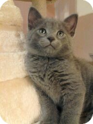 Domestic Shorthair Kitten for adoption in Horsham, Pennsylvania - Luke