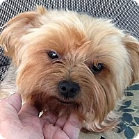 Adopt A Pet :: Gracie - Orange, CA
