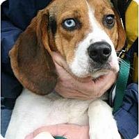 Adopt A Pet :: Bloo - Portland, OR