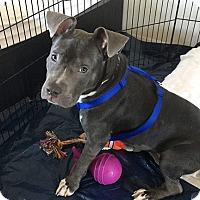 Adopt A Pet :: Lulu - West Hills, CA