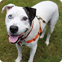 Adopt A Pet :: Bojangles - Newtown, CT