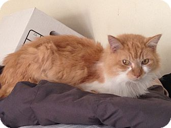 Domestic Mediumhair Cat for adoption in crofton, Maryland - Virginia