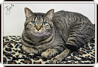 Domestic Shorthair Cat for adoption in Dunkirk, New York - Tiger